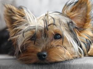 Dog on an anti-inflammatory medication